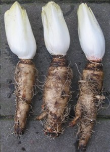 チコリの根