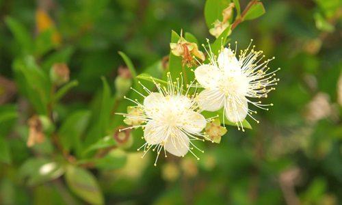 マートル の 花