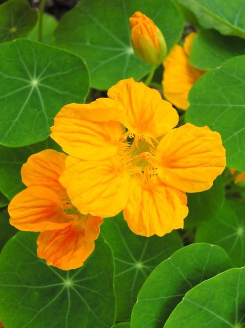 ナスタチウムの黄色系の花