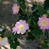 ドッグローズの花(ロサカニーナ)