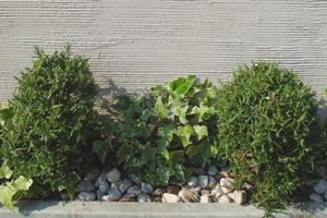 庭のアクセント ローズマリー