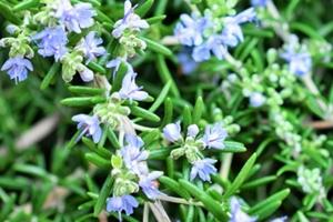 ローズマリーの花 (青)