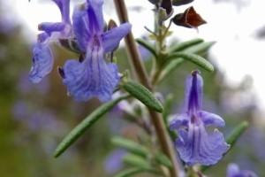 ローズマリーの花 (紫)