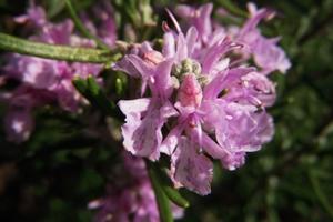 ローズマリーの花(ピンク)