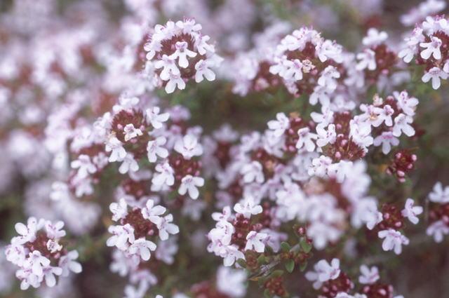 ハーブ タイム の花