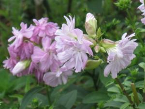 八重咲きのソープワート