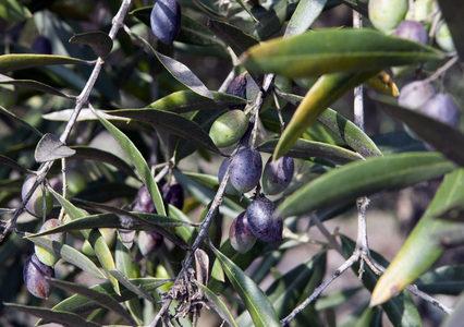 オリーブの木 栽培