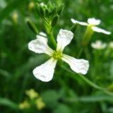 ルッコラ (ロケット)の花