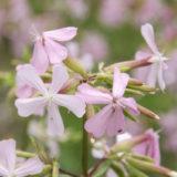 ソープワートの花