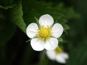 5弁の白く小さな花
