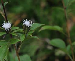 オケラの花