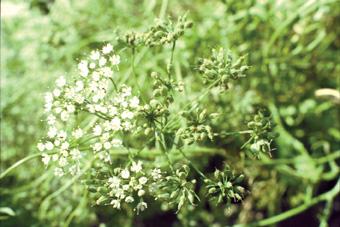 アニスの花