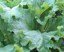 ルバーブの葉