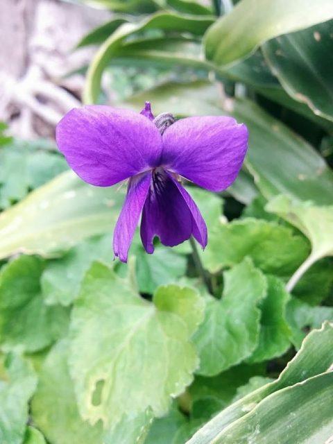 スイートバイオレットの花